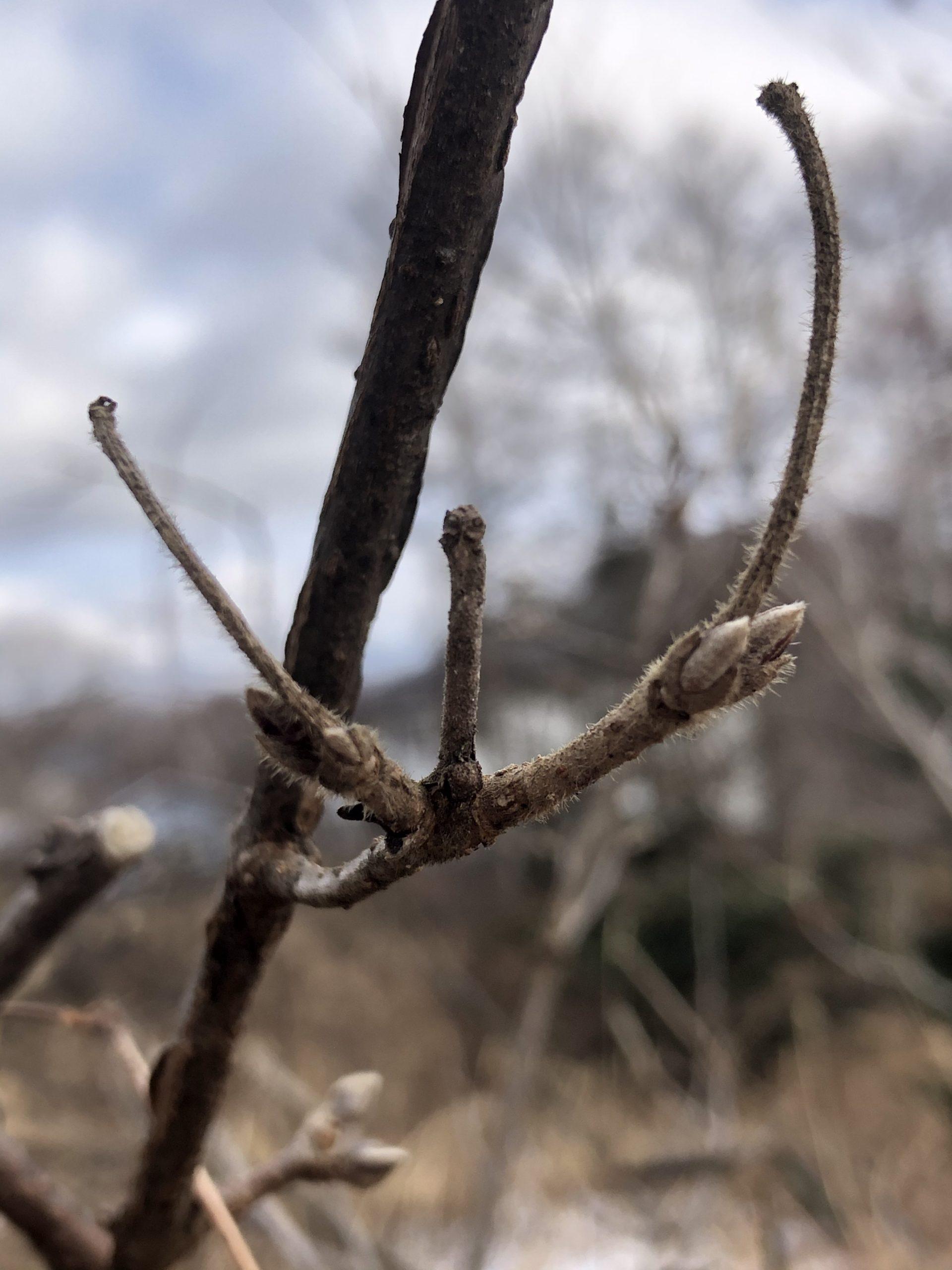 八ヶ岳 里山 木の芽 冬