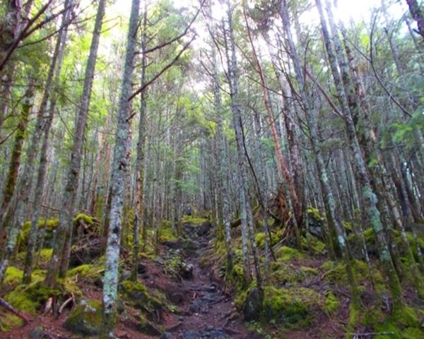 西岳 針葉樹林