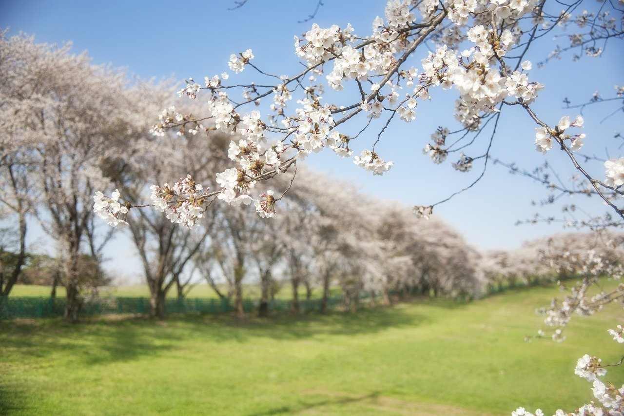 八ヶ岳の桜│おすすめ花見スポット10選!